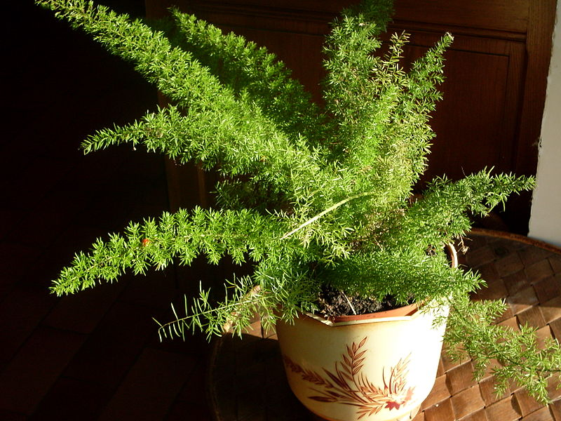 Asparagus densiflorus = Szparag Sprengera (aspragus gęstokwiatowy), Źródło: https://upload.wikimedia.org/wikipedia/commons/0/02/Asparagus_densiflorus_%27Myersii%27.jpg