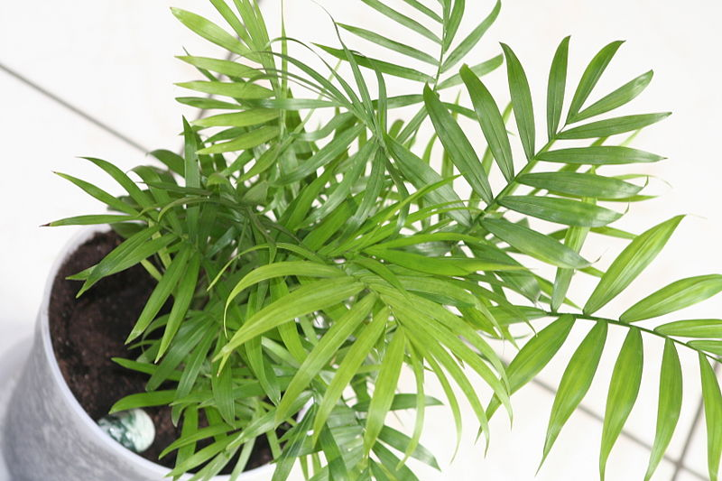 Chamedora wytworna - palma koralowa oczyszczająca powietrza, Źródło: https://upload.wikimedia.org/wikipedia/commons/5/54/Chamaedorea_elegans_01.jpg