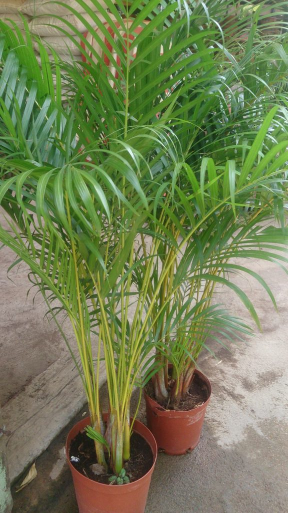Dypsis lutescens (Chrysalidocarpus lutescens, Palma Areka), Źródło: https://upload.wikimedia.org/wikipedia/commons/2/28/Areca_palm.jpg