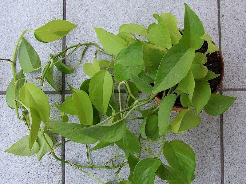Epipremnum złociste, https://upload.wikimedia.org/wikipedia/commons/1/1d/Epipremnum_pinnatum_a2.jpg