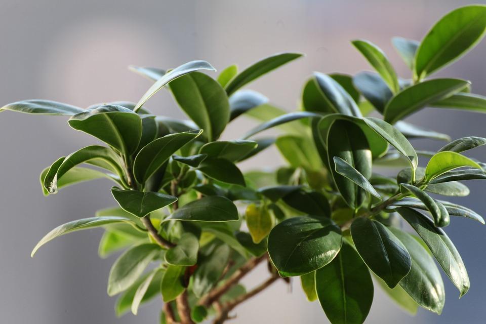Ficus benjamina, źródło: https://pixabay.com/id/ficus-daun-tanaman-vegetasi-hijau-2682320/