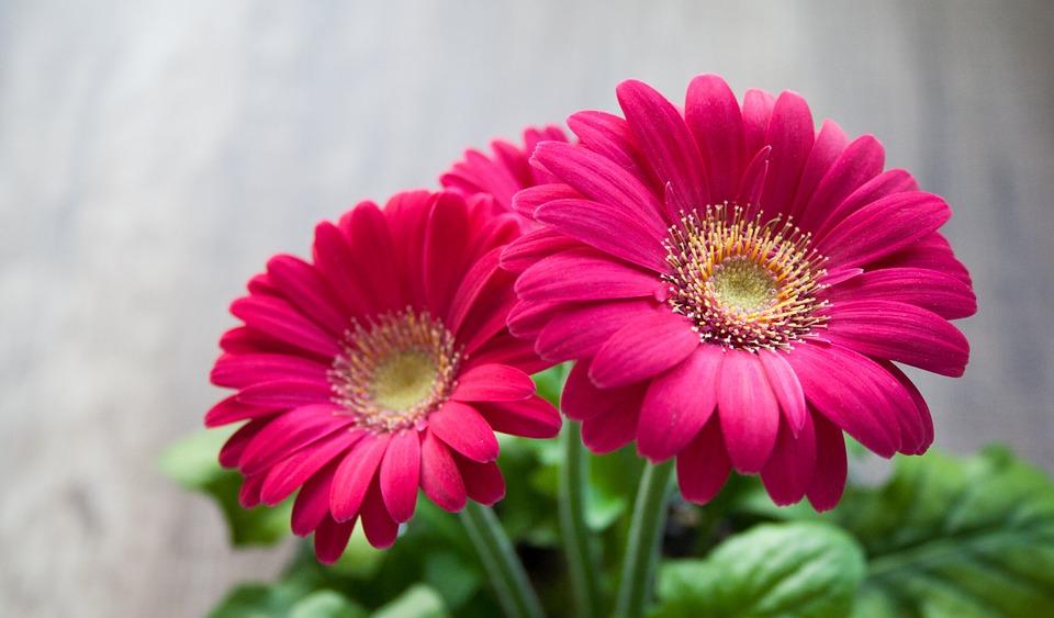 Gerbera Jamesona, Żródlo: https://pixabay.com/en/flower-spring-summer-gerbera-631765/