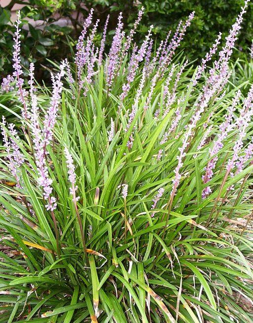 Liriope szafirkowata, Źróło: https://pixabay.com/pl/liriope-kwiat-lily-trawa-trawa-296932/
